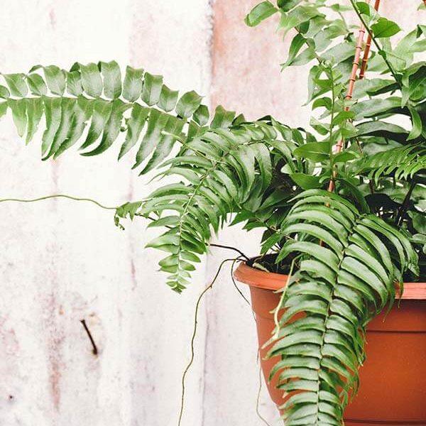 plants-10-hangingbostonfern2-600x600
