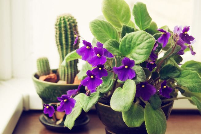 potted-african-violet-cactus-653x0_q80_crop-smart